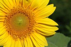 Sunflower (Helianthus) Royalty Free Stock Photos