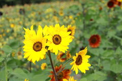 Sunflower;helianthus;turnsole;heliotrope Stock Photo