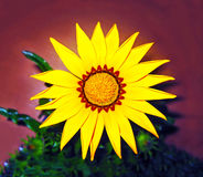 Sunflower - helios - yellow flower stock image