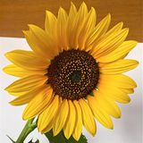 Sunflower. At home Royalty Free Stock Photos