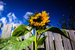 Sunflower. Home grown giant sunflower growing taller than me! Bright sunny day with blue skies in Scotland Royalty Free Stock Images