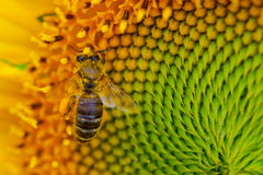 Sunflower with a honey bee. Detailed shot of a European honey bee on a sunflower Royalty Free Stock Images
