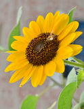 Sunflower and Honey bee! Royalty Free Stock Photo