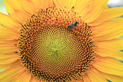 Sunflower with honey bee for background close up. Bee is in right top. Flower orange and yellow texture with natural pattern Royalty Free Stock Photo