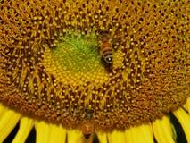 Sunflower honey bee. Close-up shots, sunflower bee, sunflower Stock Images
