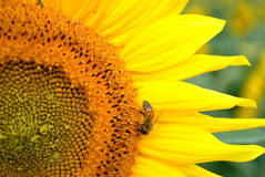 Sunflower and Honey Bee Closeup Royalty Free Stock Photography