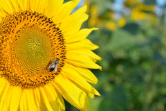 Sunflower with honey bee Stock Photo