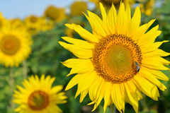 Sunflower with honey bee. Closeup Sunflower with honey bee on meadow Stock Photography