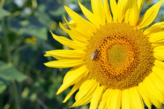 Sunflower with honey bee Stock Photos