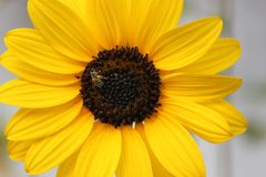 sunflower honey bee natural yellow flower stock image