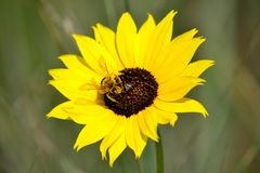 Sunflower and honeybee, Helianthus annus Royalty Free Stock Photos