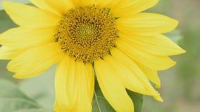Sunflower with honeybee. stock video