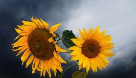 Sunflower in horizontal composition withdark sky and clouds. Sunflower in a horizontal composition withdark sky and clouds stock photo