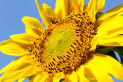 Sunflower on blue sky background. Sunflower in the hot sunlight on blue sky background. Suitable for backgrounds, articles about nature stock photos