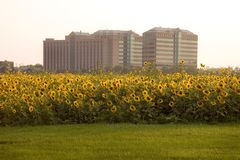 Sunflower Hotel Royalty Free Stock Photos