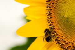 Sunflower with Humblebee Stock Photo