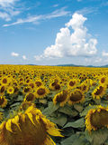 Sunflower in Hungary. Wide-angle close-up on yellow sunflower royalty free stock images