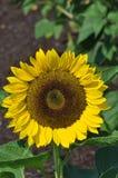 Sunflower. I grow so many sunflowers so the birds could enjoy Stock Photos