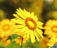 Sunflower - ID: 16218-130647-2498 Royalty Free Stock Photos