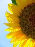 Sunflower II. Field of sunflower in the region Alentejo, Portugal stock image