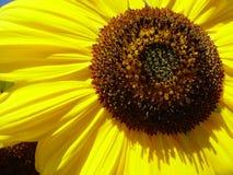 Sunflower II. Last summer days in the garden Stock Images