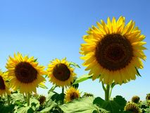Sunflower III. Field of sunflower in the region Alentejo, Portugal stock photos