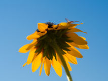 Sunflower illuminated with bee on it Royalty Free Stock Photo