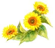 Sunflower illustration. On white background Stock Photography