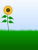 Sunflower Illustration Royalty Free Stock Images