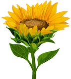 Sunflower. Illustration of a beautiful sunflower Royalty Free Stock Images