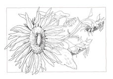 Sunflower illustration in black and white Stock Photos
