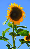 Sunflower. An imperfect big sunflower with blue sky in background Stock Photo