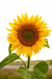 Sunflower. Individual sunflower isolated on white background. Meadow of sunflowers royalty free stock photography