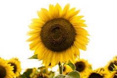 Sunflower. Individual sunflower isolated on white background. Meadow of sunflowers stock photos