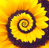 Sunflower infinity spiral abstract background. Stock Photography