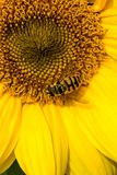 Sunflower and Insect Royalty Free Stock Image
