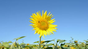 Sunflower with insects on blue sky in sunny day, sunny environment stock video