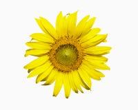 Sunflower isolared on white background Royalty Free Stock Photos