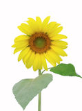 Sunflower isolate. On white background Royalty Free Stock Images