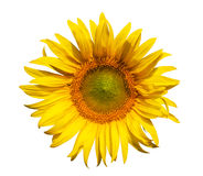 Sunflower isolate Royalty Free Stock Photo