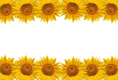 Sunflower isolate on white, design for background Stock Photos