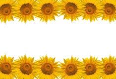 Sunflower isolate on white, design for background Stock Photos