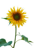Sunflower isolated. One yellow sunflower isolated overwhite Royalty Free Stock Image