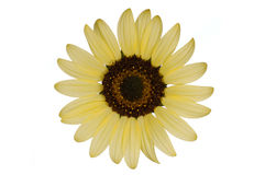 Sunflower Isolated. On white background Royalty Free Stock Photos