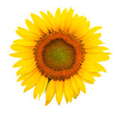 A Sunflower isolated Royalty Free Stock Photos