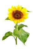 Sunflower isolated Stock Photo