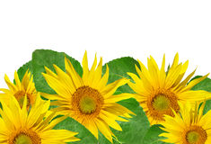Sunflower isolated Royalty Free Stock Photography