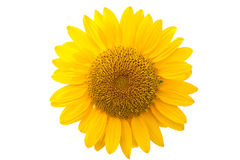 Sunflower isolated Stock Image