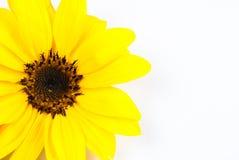 Sunflower isolated Stock Photos