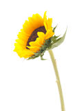 Sunflower on isolated. White background Royalty Free Stock Photo
